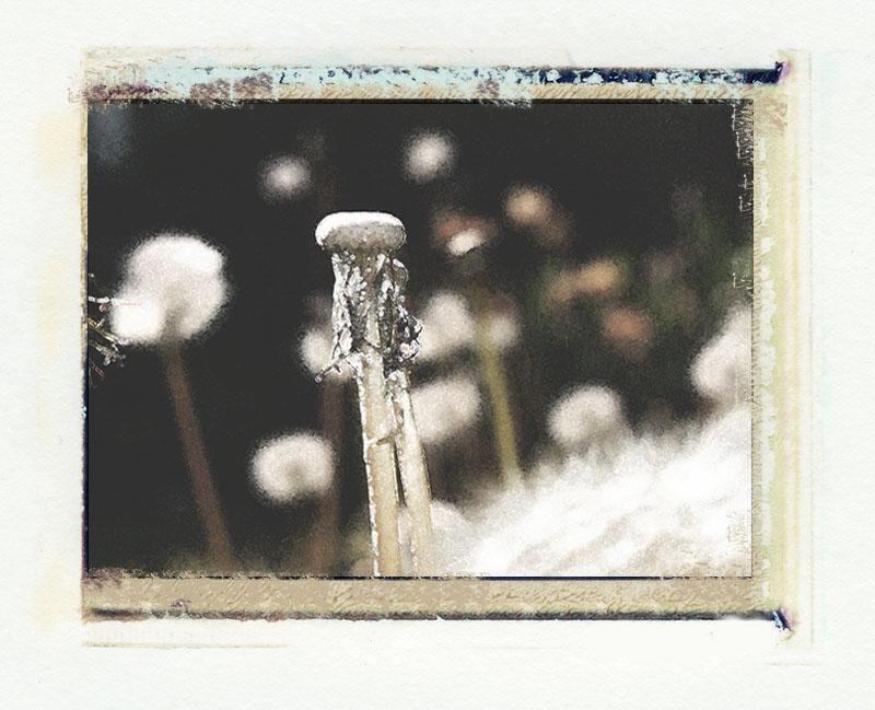 dandelion-image-trans