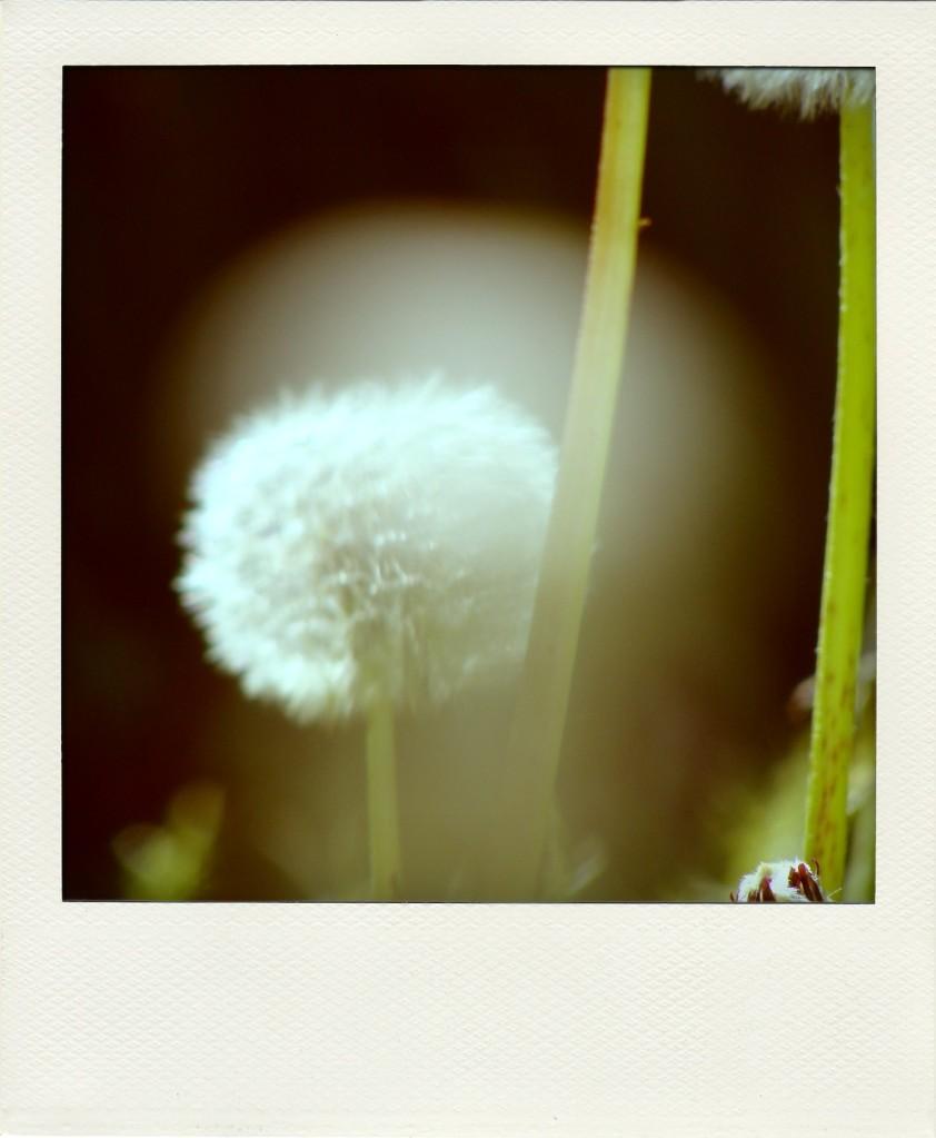 dandelion-pola