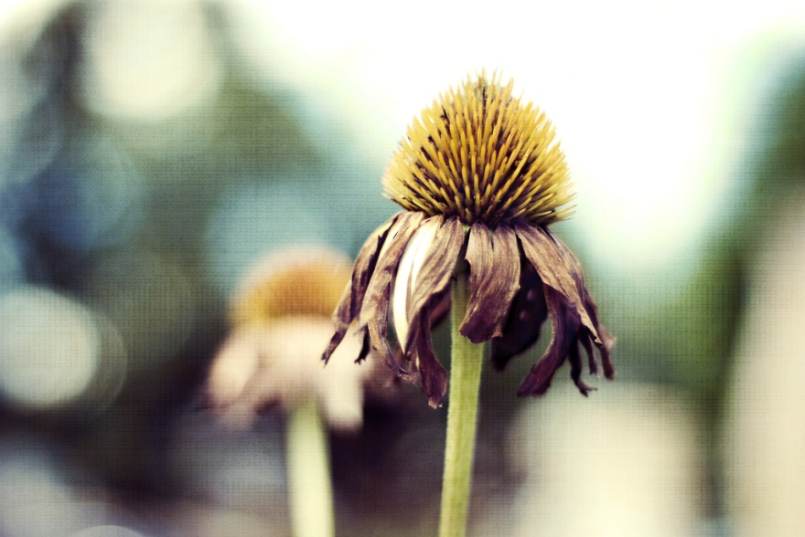 withering cone flower