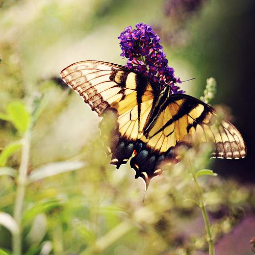 sm butterfly
