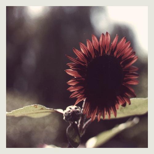 sm sunflower