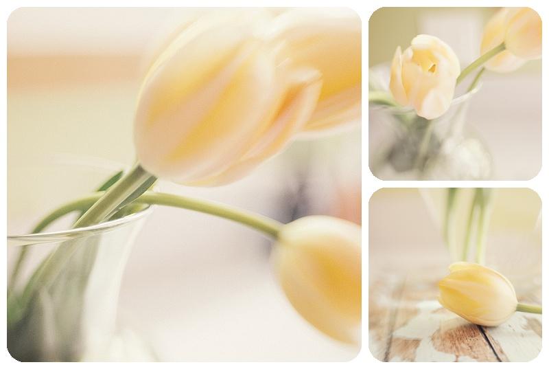 Lawrence Kansas Yellow Tulips Nature Photography