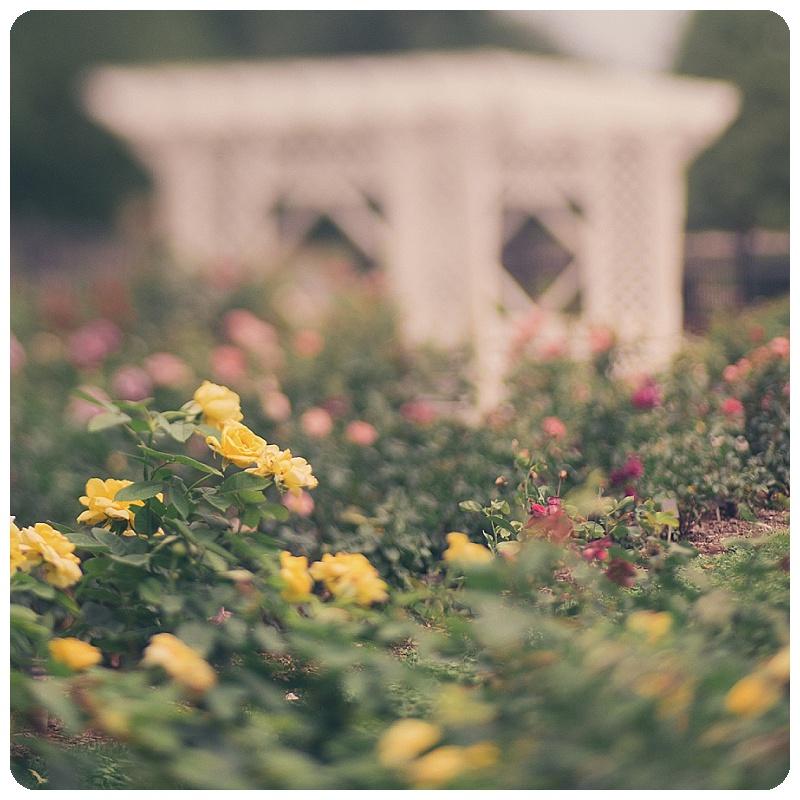 Gage Park Rose Garden Trina Baker Photography