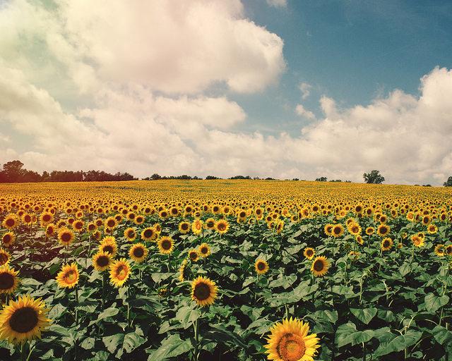 Sunflower Farm Trina Baker Photography