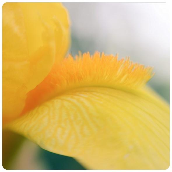 Yellow Iris petal Macro Trina Baker Photograph