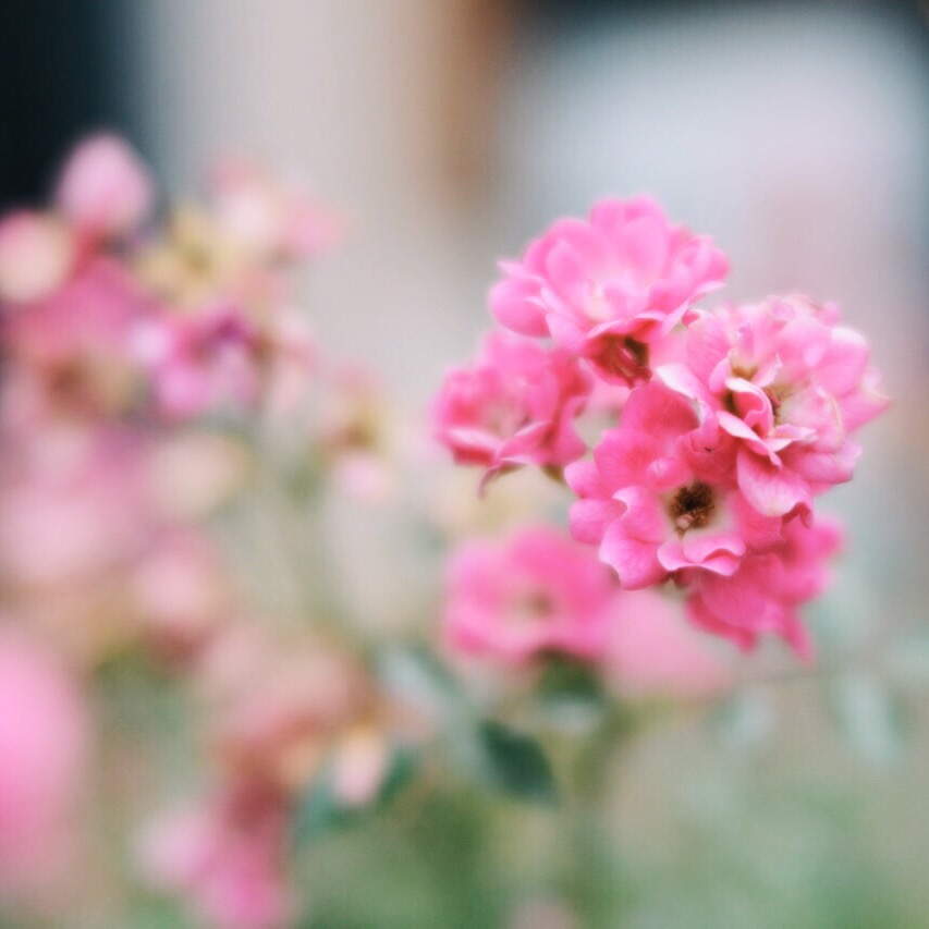 pink flowers trina baker photography