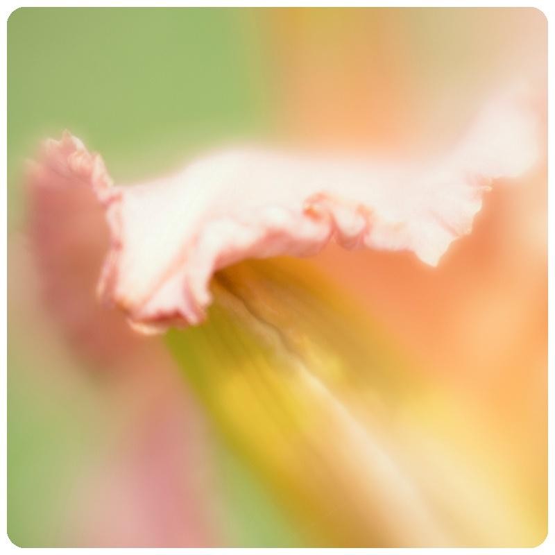 Pinkish Lily Macro Trina Baker Photography