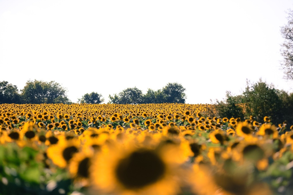 kansas sunflowers trina baker photography