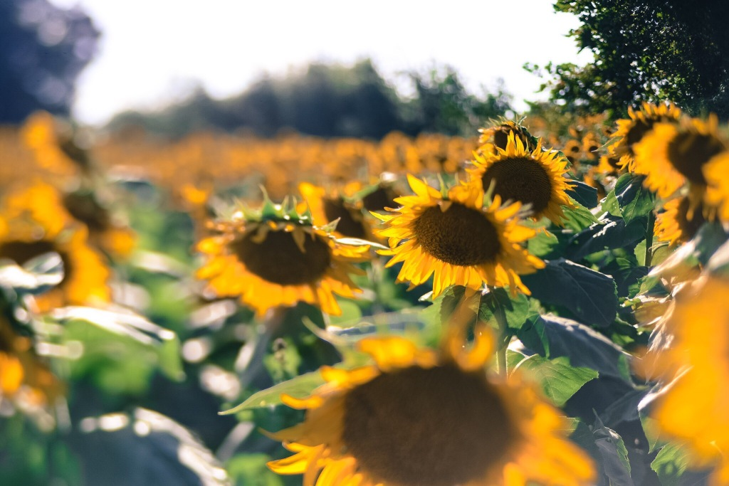 lawrence kansas sunflowers trina baker photography